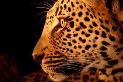 Leopard in the Sabi Sands royalty free stock photo