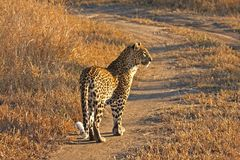 Leopard in the Sabi Sands Royalty Free Stock Images