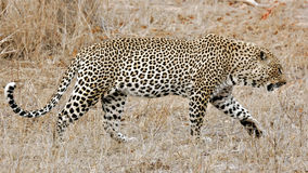 Leopard, Sabi Sands, Kruger National Park Royalty Free Stock Images
