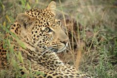 A leopard in the Sabie Sands Private Game Reserve Royalty Free Stock Photos
