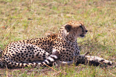 Leopard - Safary Kenya. A majestic leopard laid on the grass of savanna, in Kenya Stock Images