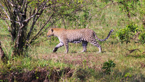 Leopard - Safary Kenya. A walking leopard hidden by the vegetation, in Kenya Royalty Free Stock Photos