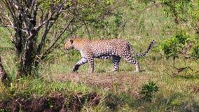 Leopard - Safary Kenya Royalty Free Stock Photos