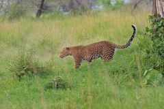 Leopard on savana. On Tanzania Royalty Free Stock Images