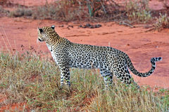 Leopard in the savannah Stock Image