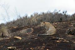 Leopard in savannah in Kenya Stock Photos