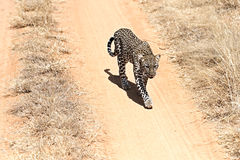 Leopard in the savannah Royalty Free Stock Photos