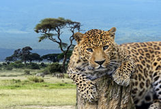 Leopard in the savannah Royalty Free Stock Photo