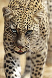 Leopard in the savannah Royalty Free Stock Photography