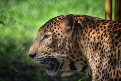 Leopard with scars Stock Images