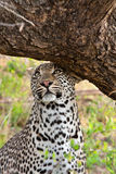 Leopard scent marking Royalty Free Stock Images