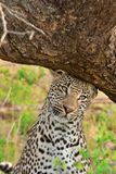 Leopard scent marking Royalty Free Stock Photography