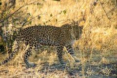 Leopard-Schauen Stockfoto