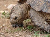 Leopard-Schildkröte Lizenzfreies Stockbild