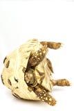 Leopard-Schildkröte Lizenzfreie Stockfotos