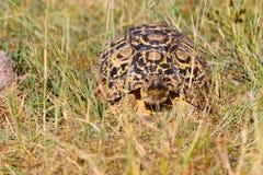 Leopard-Schildkröte, Nationalpark Hwange, Simbabwe stockbild