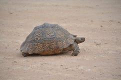 Leopard-Schildkröte, welche die Straße bei Addo Elephant National Park kreuzt Stockfoto
