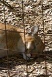 Leopard Schlafensflorida Stockfoto