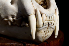 Leopard scull. A close up of a leopard skull's teeth with side light Stock Images