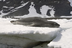 Leopard seal Stock Image