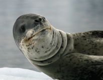 Leopard Seal. Lying on iceberg Royalty Free Stock Photography