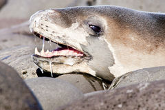 Leopard Seal. Close Up of Adult Leopard Seal Basking in Sun Drooling Saliva Royalty Free Stock Photo