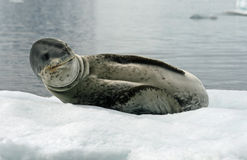 Leopard Seal 2. Leopard Seal lying on an iceberg Royalty Free Stock Photography