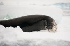 Leopard seal. This shot was made during expedition to Antarctica in January 2012 Stock Images