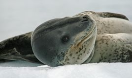 Leopard Seal 3 Royalty Free Stock Photo
