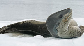 Leopard Seal 5 Royalty Free Stock Images