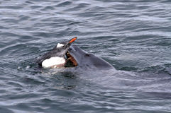 Leopard seal that attacks Gentoo penguin Stock Photos
