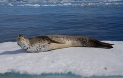 Leopard Seal. Basking on an ice floe Royalty Free Stock Photography