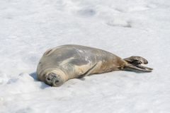Leopard seal on beach with snow in Antarctica royalty free stock photo