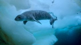 Leopard seal Hydrurga leptonyx, Antarctic Peninsula royalty free stock photos