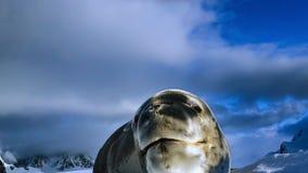 Leopard seal Hydrurga leptonyx, Antarctic Peninsula stock photo