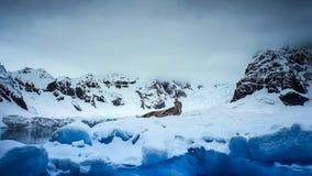Leopard seal Hydrurga leptonyx, Antarctic Peninsula stock photography