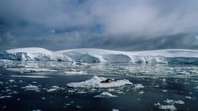 Leopard seal Hydrurga leptonyx, Antarctic Peninsula royalty free stock photos