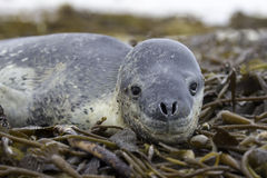 Leopard Seal (Hydrurga leptonyx) lying in Kelp. Volunteer Point, Royalty Free Stock Photos