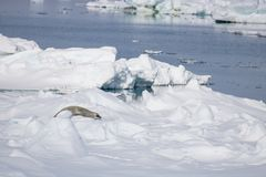Leopard seal on ice float Antarctic Sound Royalty Free Stock Image