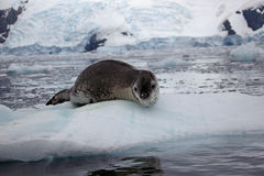 Leopard seal on ice floe, Antarctica. Leopard seal - top predator of the Antarctic - resting on ice, Antarctic Peninsula, Antarctica Royalty Free Stock Images