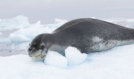 Leopard Seal Stock Images