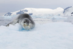 Leopard Seal Stock Photo