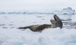 Leopard Seal on Ice Floe. In Antarctica stock photo