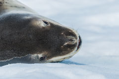 Leopard seal. On ice floe in Antarctica Stock Images