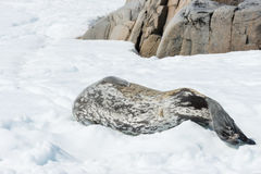 Leopard seal. On ice floe in Antarctica Royalty Free Stock Images