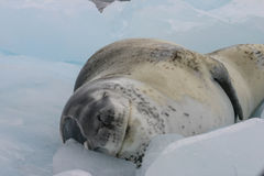 Leopard seal. On ice floe in Antarctica Stock Photography