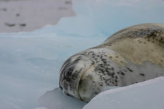 Leopard seal. On ice floe in Antarctica Royalty Free Stock Image