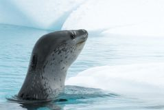 Leopard Seal on Ice Floe. In Antarctica Royalty Free Stock Photo