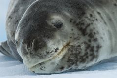 Leopard Seal on Ice Floe Royalty Free Stock Photography