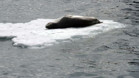 Leopard Seal on ice floe stock video footage